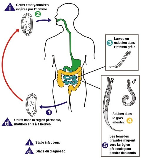 vers-blancs-MMS-DMSO-Enterobius_vermicularis_LifeCycle